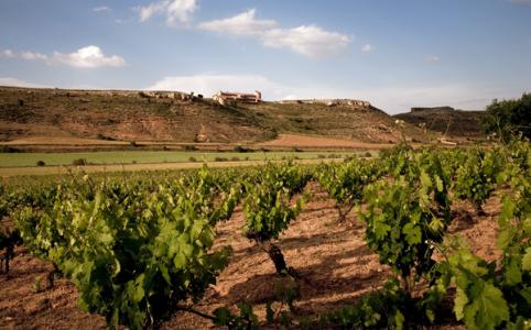 Tempranillo-Feld im Ribera del Duero