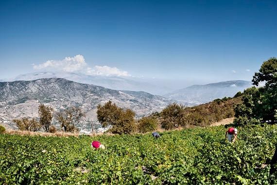 Bodegas H. Calvente, Weinernte in den Bergen Andalusiens