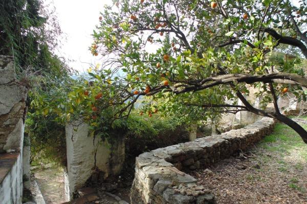 Mandarinenbaum im ehemaligen Klostergarten