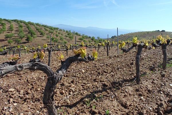 Provinz Granada: Weinfeld von Barranco Oscuro