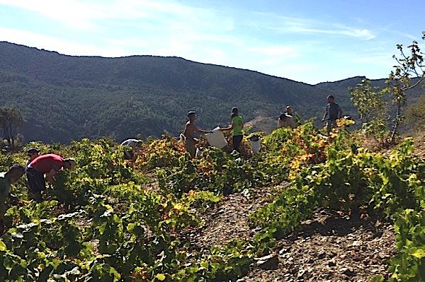 Ernte, Vino de Costa, 2017
