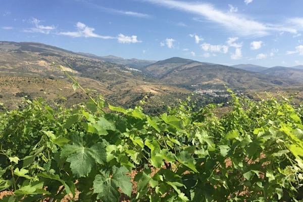 Im Weinberg von Alqueria de Morayma