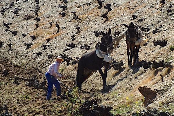 Pflügen des Weinbergs mit Pferden