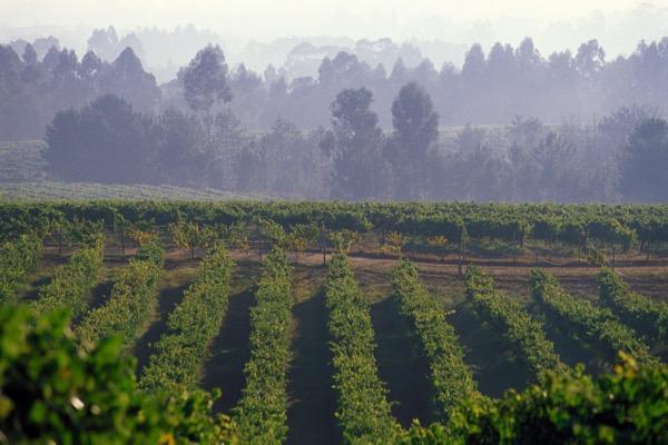 vineyards,wines,albarino,Denomination of Origin,DO,Rias Baixas,Pontevedra,Galicia