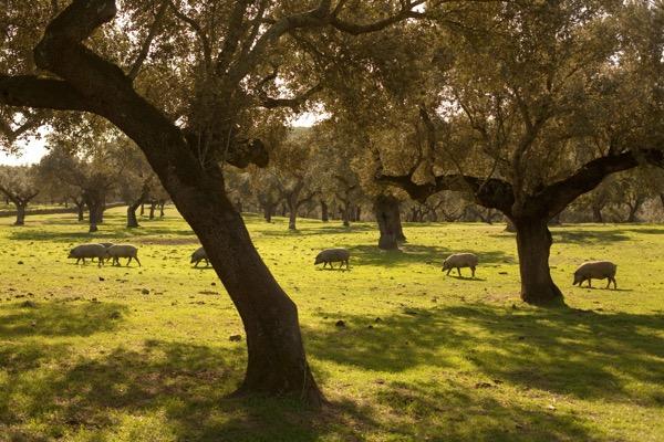 Ibérico-Schweine durchziehen die Dehesa