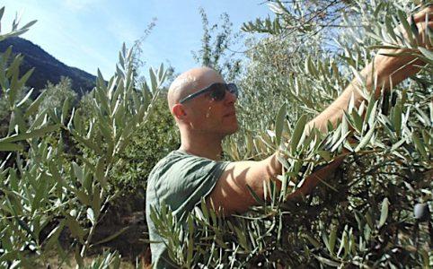 Oliven Ernte