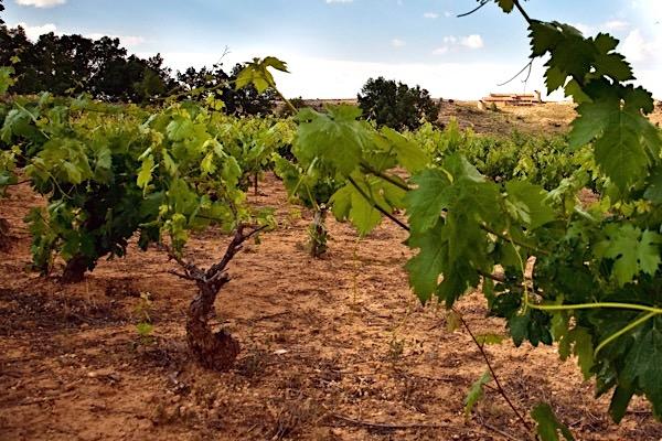 Kalkhaltiger Boden in Ribera del Duero