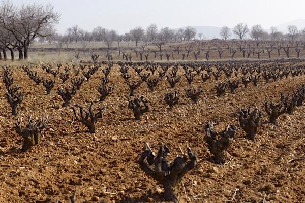 Weinberg auf Hochebene in Kastilien-La Mancha
