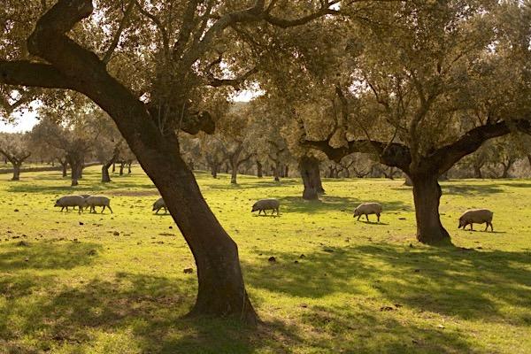 Iberische Schweine in der Extremadura