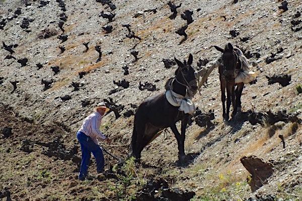 Weinberg wird bei Garcia de Verdevique mit Pferden gepflügt