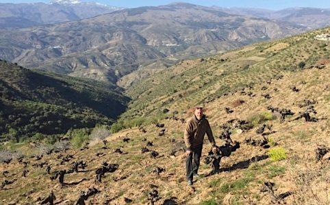Alte Reben in der Provinz Granada
