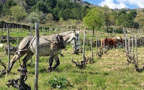 Sierra de Gredos, Weinlage wird gepflügt