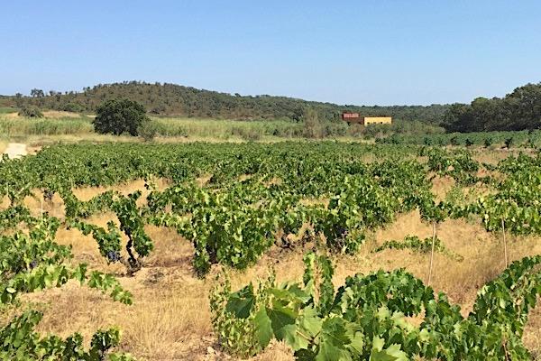 Vinyes d'Olivardots im katalanischen Anbaugebiet Emporda