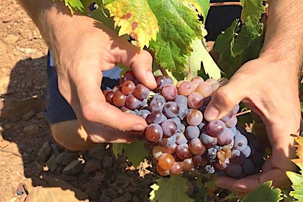 Romé-Traube mit ganz unterschiedlich gefärbten Beeren