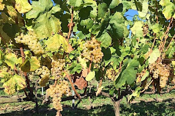 Anfang Oktober im Weinberg bei Fazenda Prádio: Loureira-Trauben kurz vor der Lese