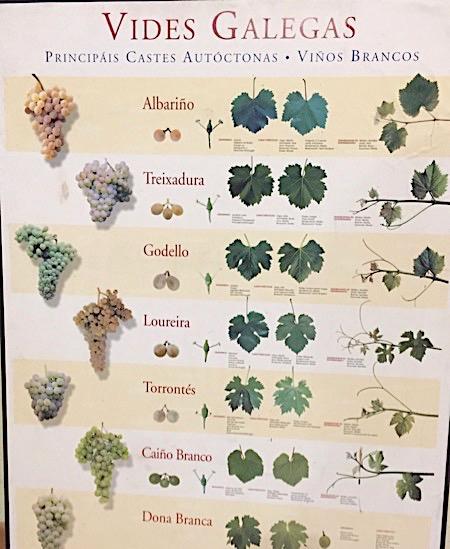 Schautafel zu den autochthonen Weißweinsorten Galiciens, darunter auch die Loureira
