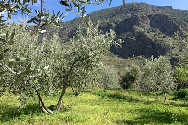 Olivenhain: Gras schützt vor Bodenerosion und hält die Erde feucht
