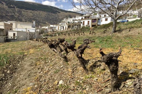 Im Dorf Capileira. Reben auf 1460 m Höhe.