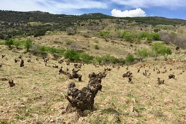 Weinlage in der Sierra Nevada