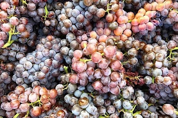 """Graue """"Cariñena Gris"""": eine Weißweinsorte mit rötlichen Schalen"""