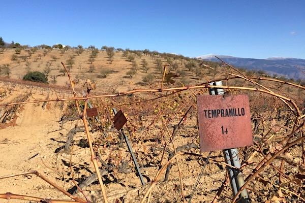 Weinberg von Barranco Oscuro. Die Tempranillo heißt in Granada auch Varetuo