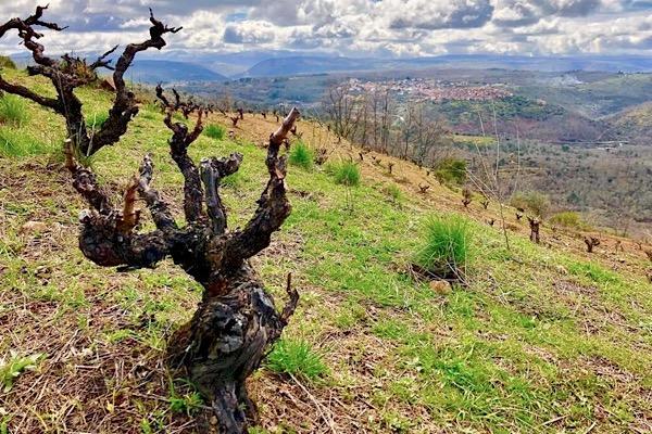 Alte Rufete-Reben bei Vinas del Cámbrico in der Sierra de Salamanca