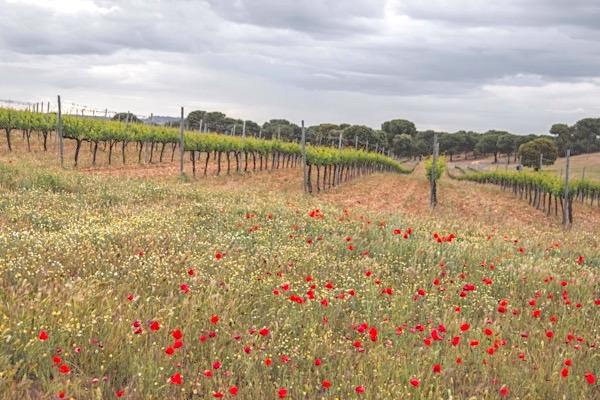 Die ökologisch bewirtschaftete Lage Cantarranas liefert die Trauben für den Barco del Corneta Verdejo.