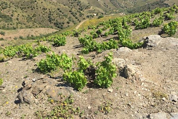 Buschreben in Málaga nahe dem Mittelmeer. Die Erziehung findet nah am Boden statt, damit dieser die Sonne nicht reflektiert und die Trauben möglichst viel Schatten erhalten.