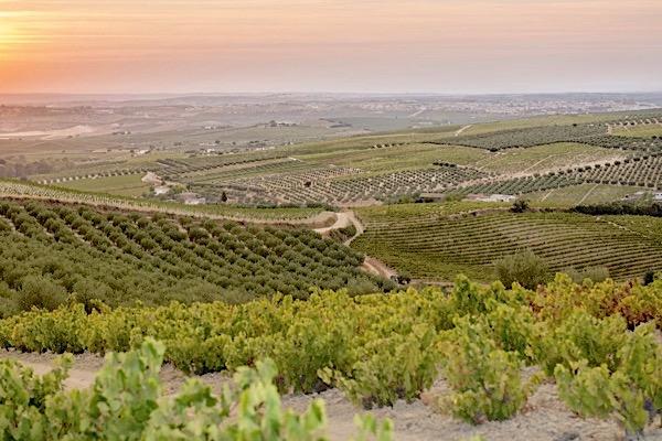 Weinberge von Alvear in Montilla-Moriles