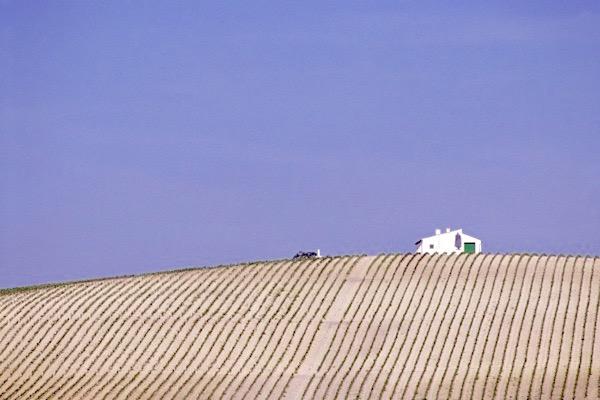 Weinberg mit weißen Albariza-Böden im Sherry-Gebiet