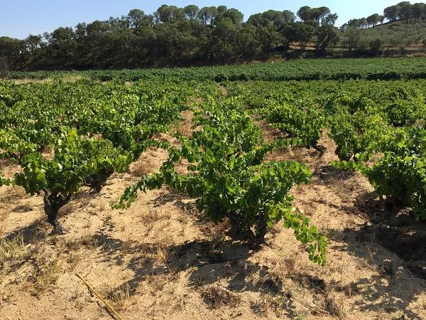 Alte Reben werden in Empordà als Buschreben gehalten
