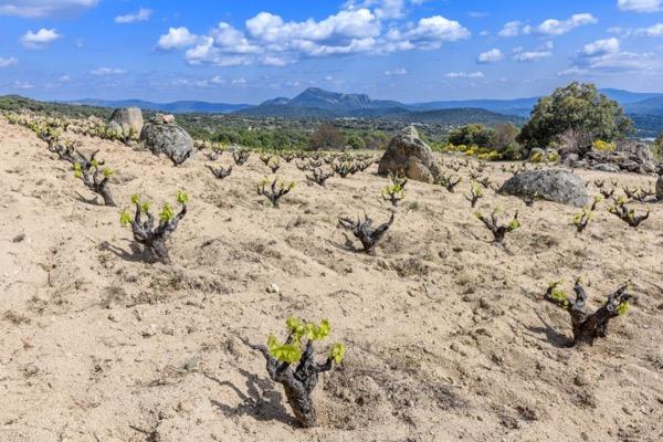 Garnacha Tinta-Weinberg in der Sierra de Gredos. Soto Manrique