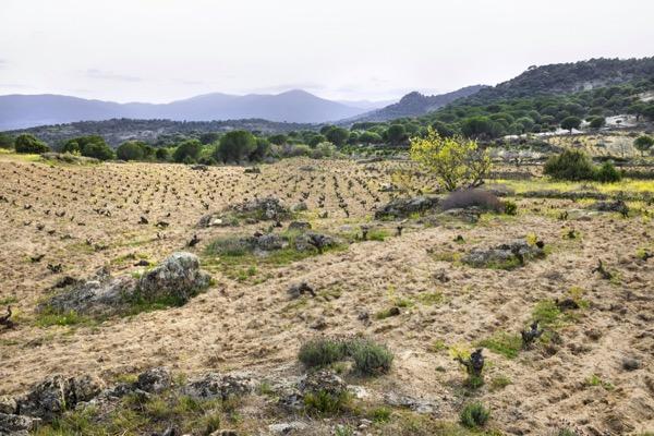 Parzelle Valverde, 920 m.ü.NN, Granitsand, 80 Jahre alte Reben der Garnacha Tinta, Soto Manrique
