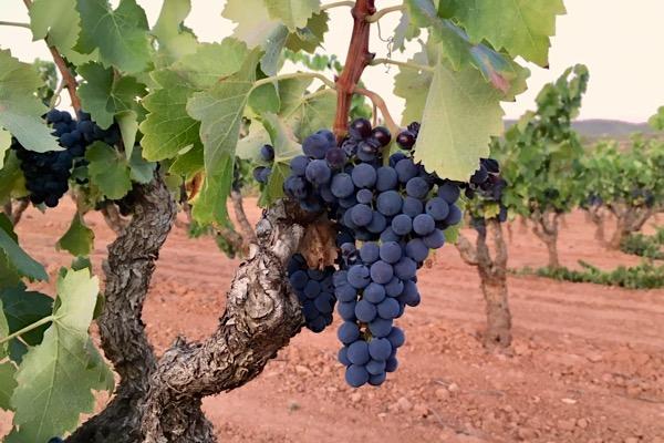 Peluda im Weinberg von Sant Josep Vins.