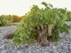 Airén wurzelecht bei Verum in La Mancha