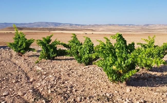 Alte Garnacha-Reben bei Bodegas Tempore in Bajo Aragón. Gute Weine aus Spanien.