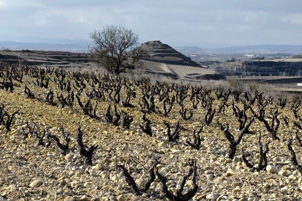 Viña Tondonia ist keine einzelne Weinlage, sondern eine Gruppe von Weinbergen am rechten Ebro-Ufer, die auf über 100 ha Fläche kommen