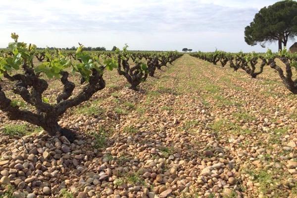 Weinberg von Bodegas Ponce in Kastilien-La Mancha. Man beachte die Pflanzabstände.