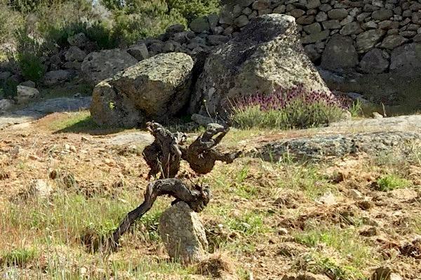 Granitstein, alte Rebe, Garnacha, Gredos.
