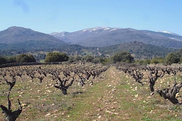 Alter Garnacha-Weinberg von Jiménez-Landi in El Real de San Vicente, Sierra de Gredos.