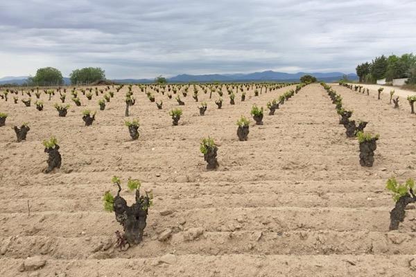 Garnacha-Weinlage von Jimenez-Landi. Feinster Sandboden. Im Hintergrund die bis 2592 Meter hohen Gipfel der Sierra de Gredos.