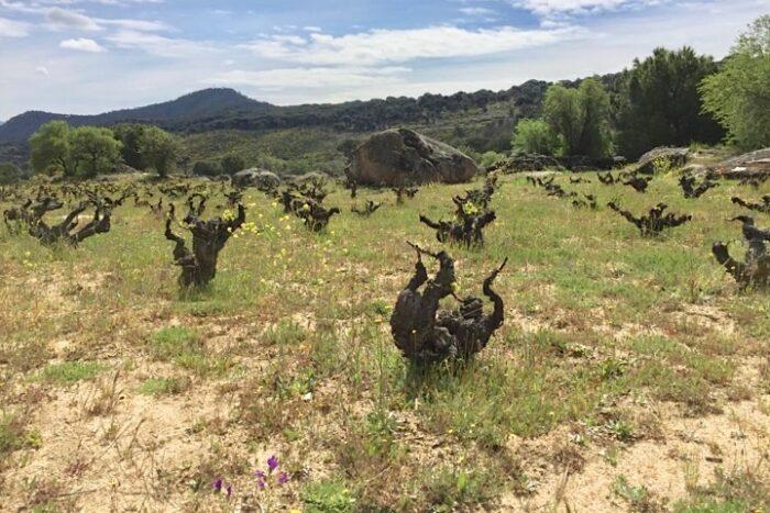 In der Weinlage La Cruz Verde auf 770 m Höhe. Soto Manrique.