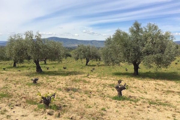 Mediterrane Landschaft in Zentralspanien: Weinreben und Olivenbäumen bei Bernabeleva.
