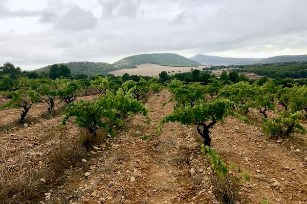 Mischsatz aus über 70 Jahre alten Reben, auf 750 m.ü.NN. Er ergibt die Trauben für den Weißwein Micalet.