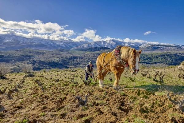 Weinberg von Rico Nuevo, Sierra de Gredos
